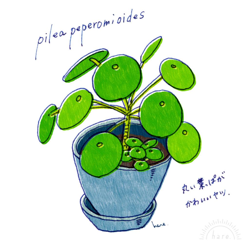 イデス ピレア ペペ ロミオ ピレア・ペペロミオイデスの増やし方、挿し木で大成功!